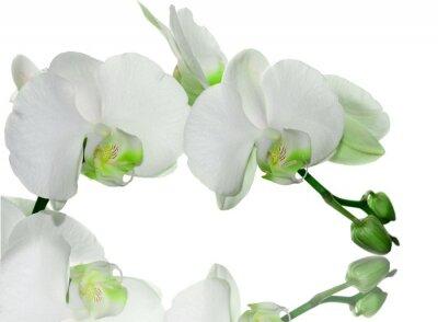 Fototapeta Zielona orchidea