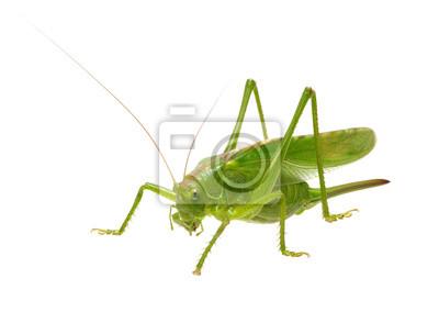 Zielona szarańcza na białym