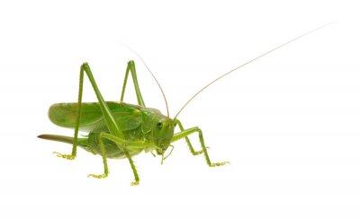 Zielona szarańcza odizolowywająca na bielu