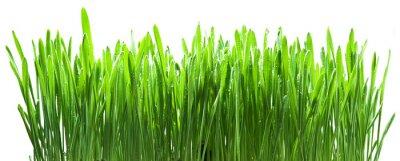 Fototapeta Zielona trawa na białym tła.