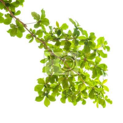 zielone liście i gałęzie na białym tle