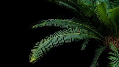 Fototapeta Zielone liście liści gumy lub olbrzymiego dioona (Dioon spinulosum Dyer) tropikalnego lasu deszczowego roślin cykad na czarnym tle.