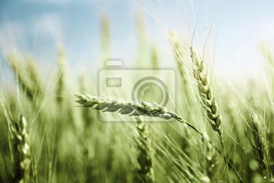 Fototapeta zielone pola pszenicy i słoneczny dzień