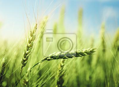 zielone pola pszenicy i słoneczny dzień
