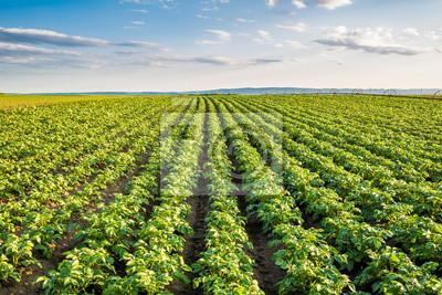 Fototapeta Zielone pole upraw ziemniaka w rzędzie