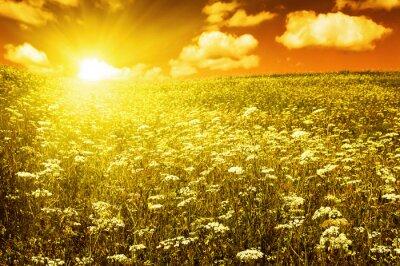 Fototapeta zielone pole z kwitnących kwiatów i niebo czerwone