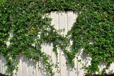 Fototapeta Zielone rośliny wiszące na białej ścianie.