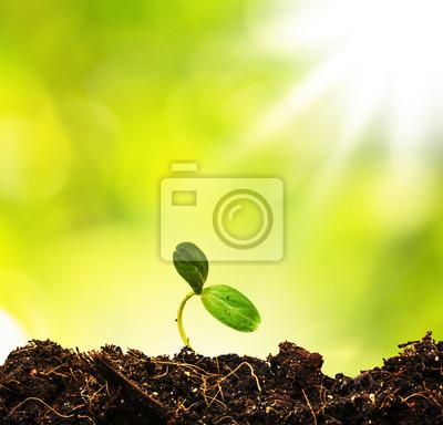 Zielonej kapusty rosnące z ziemi, czy nowy początek lub początek stężony