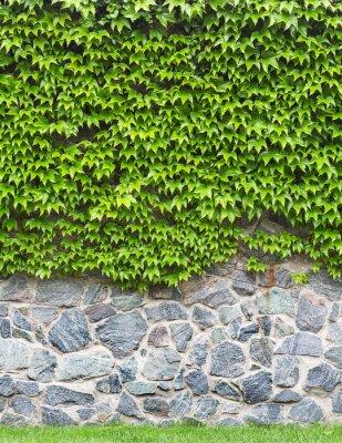 Fototapeta zielony bluszcz na ceglany mur