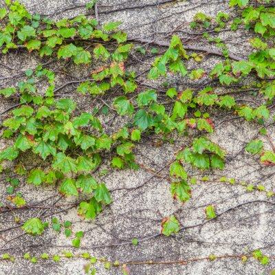 Fototapeta Zielony bluszcz na starych drzew wspinacz ściany betonowej