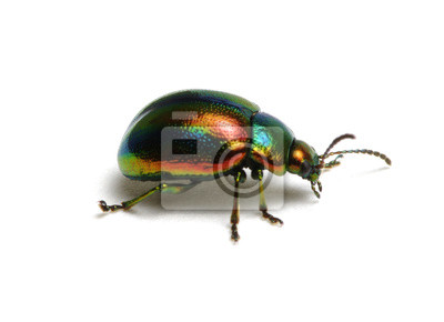 Zielony chrząszcz na białym tle