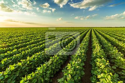 Fototapeta Zielony dojrzenie soi pole, rolniczy krajobraz