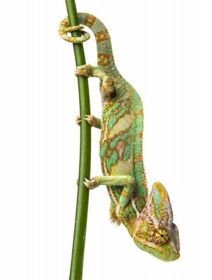 Fototapeta zielony kameleon - Kameleon jemeński - samiec na gałęzi