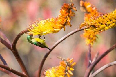 Fototapeta Zielony kobiet Sunbird siedzi na żółtym aloesu uzyskać nektaru
