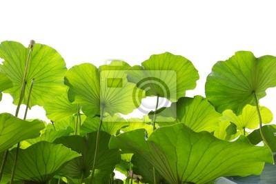 Zielony liść lotosu