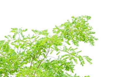 Fototapeta zielony liść na białym tle
