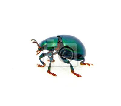 Fototapeta Zielony żuk