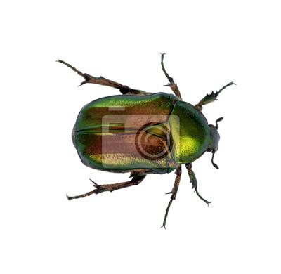 Zielony żuk