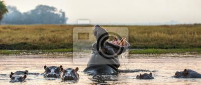 Fototapeta Ziewający pospolity hipopotam w wodzie przy zmierzchem. Wspólny hipopotam lub hipopotam pokazujący zagrożenie. Nazwa naukowa: Hippopotamus amphibius. Afryka