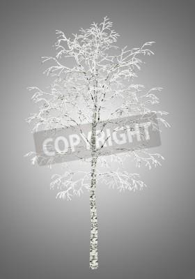 Fototapeta zimą brzoza drzewo samodzielnie na szarym tle