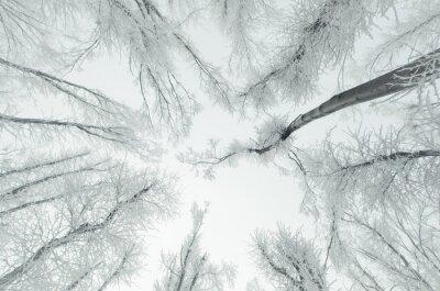Fototapeta Zima tle lasu. Biały mrożone drzewa, niebo i mgła w lesie na chłodne zimowe wieczory
