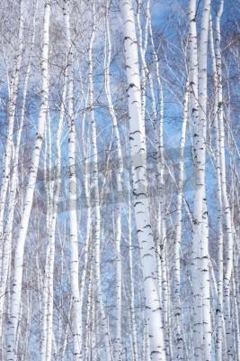 Fototapeta zimowy las brzoza, tło środowiska
