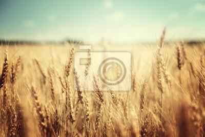 Fototapeta złote pola pszenicy i słoneczny dzień