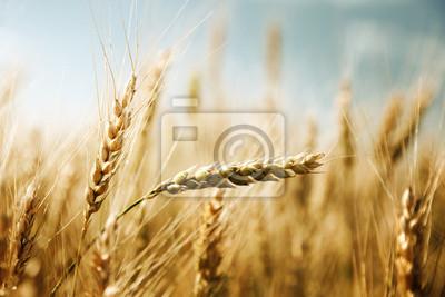 złote pola pszenicy i słoneczny dzień