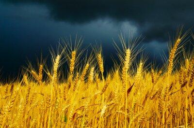 Fototapeta złote pola z dramatycznego niebo. przed deszczem