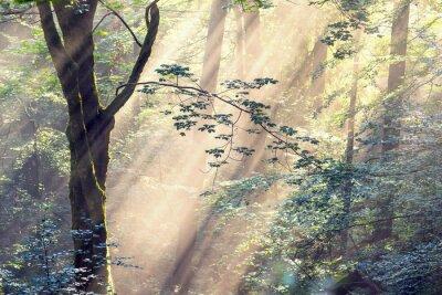 Fototapeta Złote Promienie lesie świerkowym