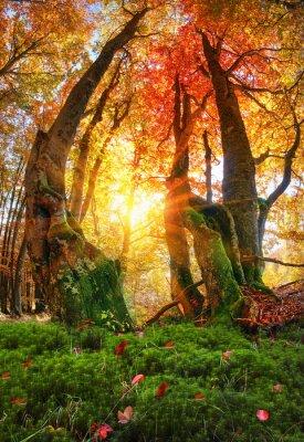 Fototapeta Złoty las bukowy