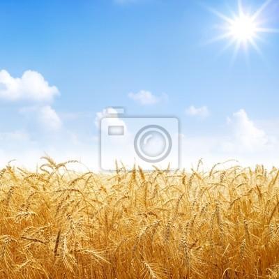Złoty pszenicy