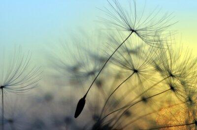 Fototapeta Złoty zachód słońca i mniszek, medytacji zen w tle