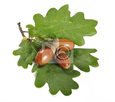 Żołądź z zielonych liści