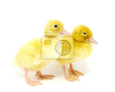 żółta kaczka
