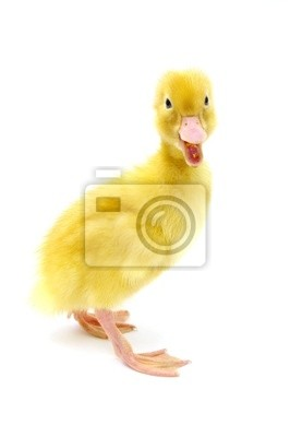 Fototapeta żółta kaczka