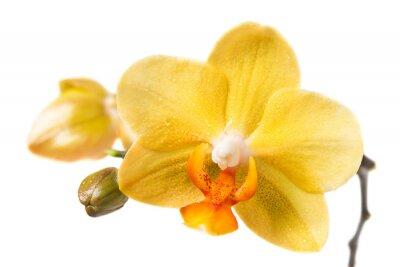 Fototapeta Żółta orchidea na białym tle