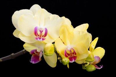 Fototapeta Żółta orchidea samodzielnie na czarnym tle