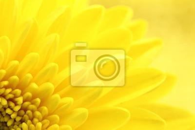 Fototapeta Żółte chryzantemy płatki makro