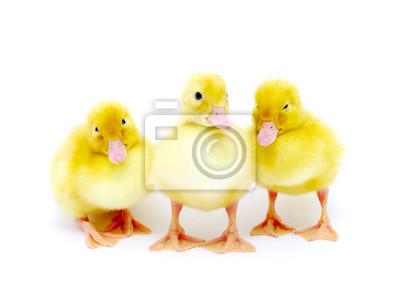 żółte kaczki