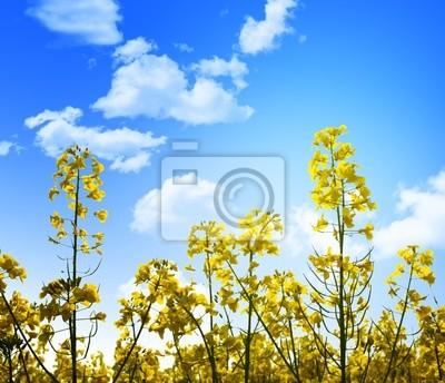 Fototapeta żółte kwiaty i błękitne niebo