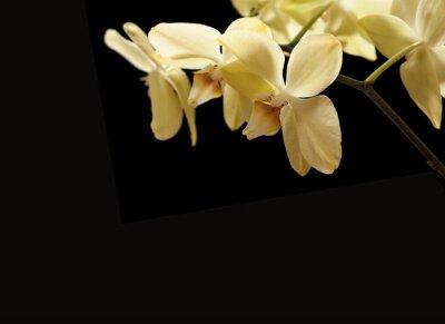 Fototapeta żółte kwiaty orchidei
