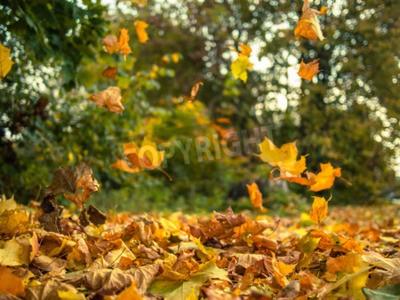 Fototapeta Żółte liście spadają z drzew na słoneczny dzień jesienią