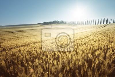 Fototapeta Żółte pole pszenicy i domku rolnym, Toskania, Włochy