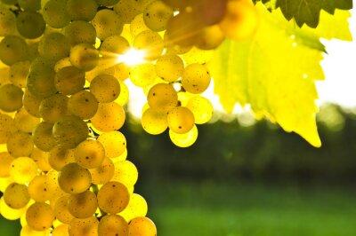 Fototapeta Żółte winogrona w słońcu Toskanii