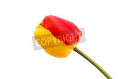 Fototapeta żółto-czerwony tulipan na białym tle