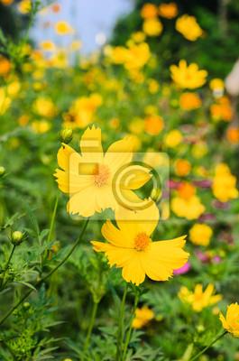 Żółty kwiat Cosmos