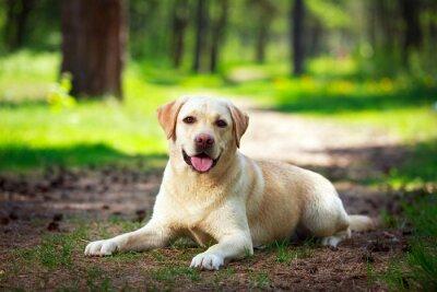 Fototapeta żółty labrador retriever