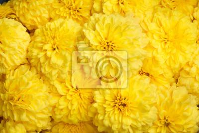 Fototapeta Żółty Marigold