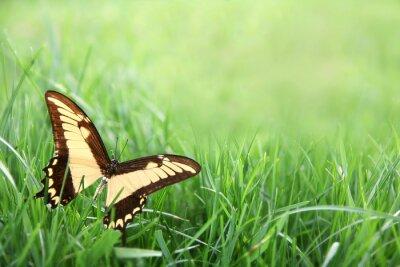 Fototapeta Żółty Motyl w zielonym tle trawy